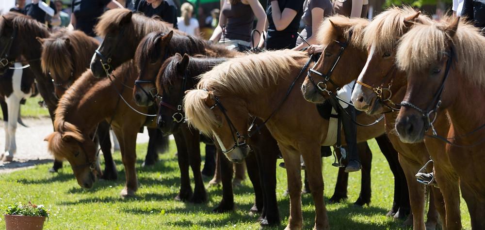 Islandpferde Isländer Icelandic Horse Turnier Trense IRV Hohenlinden