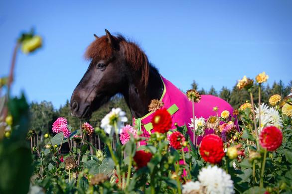 Abschwitzdecke-Hochgeschlossen-Pony-Pink