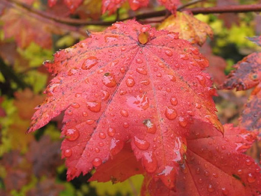 Featured Plant: Rocky Mountain Maple