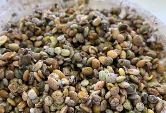 Lupine seeds