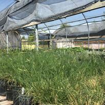 Need grasses?