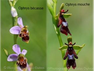 L'ophrys bécasse et l'ophrys mouche
