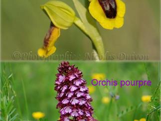 L'orphrys jaune et l'orchis pourpre