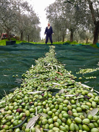 Agriturismo Fattoria Celle - olive production