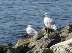 Lake Pepin Seagulls