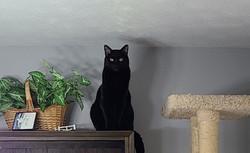 Templeton on top of bookshelf