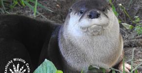 River Otters Gone Viral!