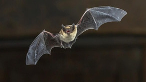 Bats ARE NOT a threat!