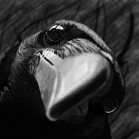 Close Crow