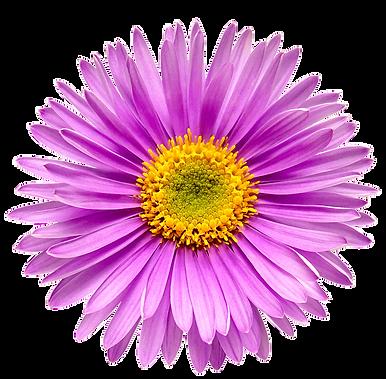 purplegerbera.png
