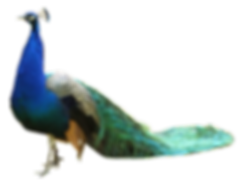 peacock-hd-png--1594.png