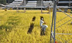 田んぼの発電所の稲刈り