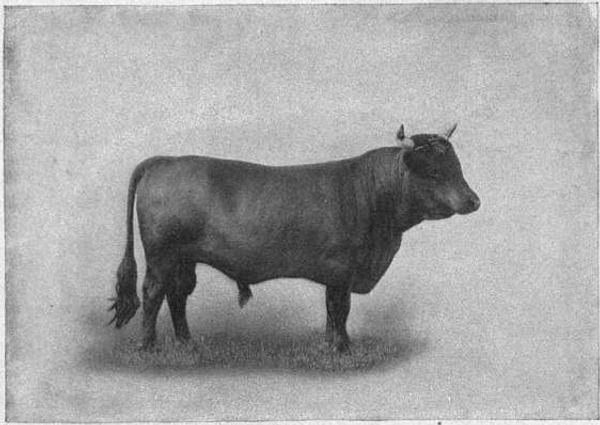 EB1911_Cattle_-_DEXTER_BULL.jpg