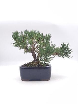 Pinus mugo (Pin des Montagnes)