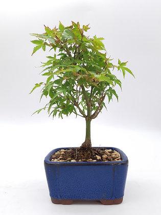 Acer palmatum 'Yamamomiji' (Erable du Japon)