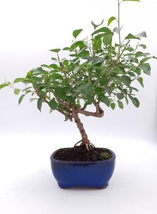 Prunus mahaleb (Cerisier de Sainte-Lucie)