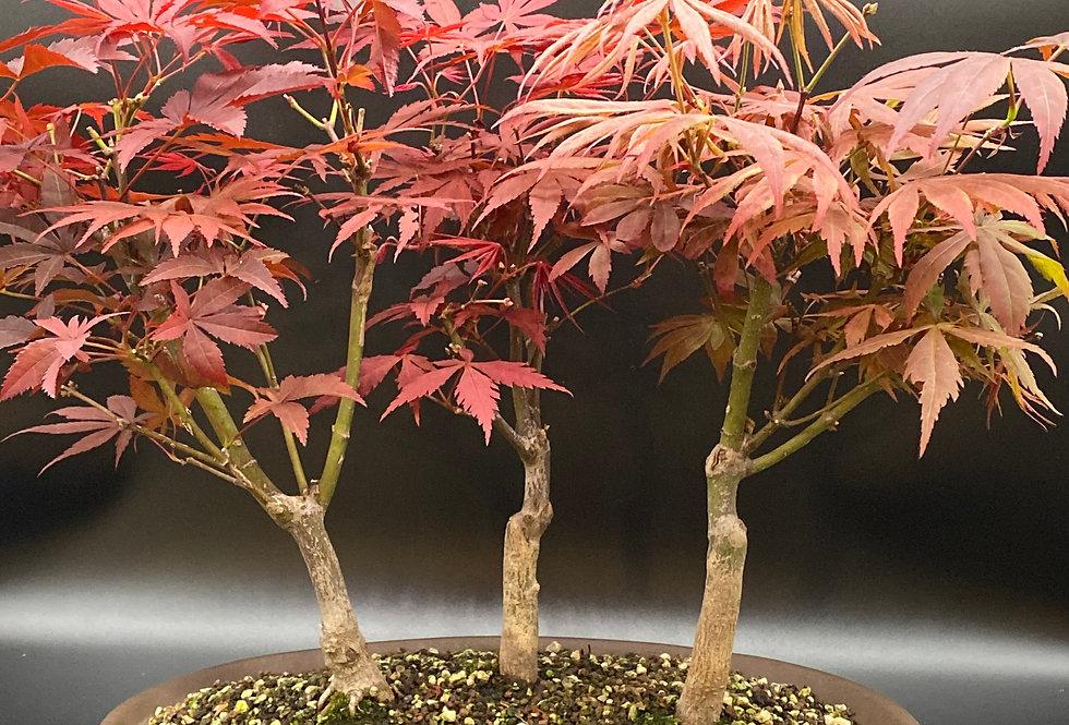 Erable pourpre du Japon en forêt (Acer palmatum 'Atropurpureum')
