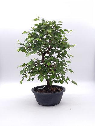 Carpinus coreana (Charme de Corée)