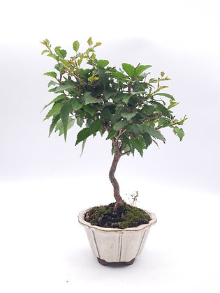 Prunus incisa (Cerisier du Japon-Sakura)