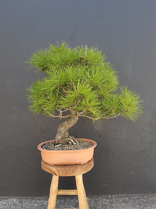 Pinus densiflora (Pin rouge du Japon)