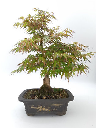 Acer palmatum (Erable du Japon)