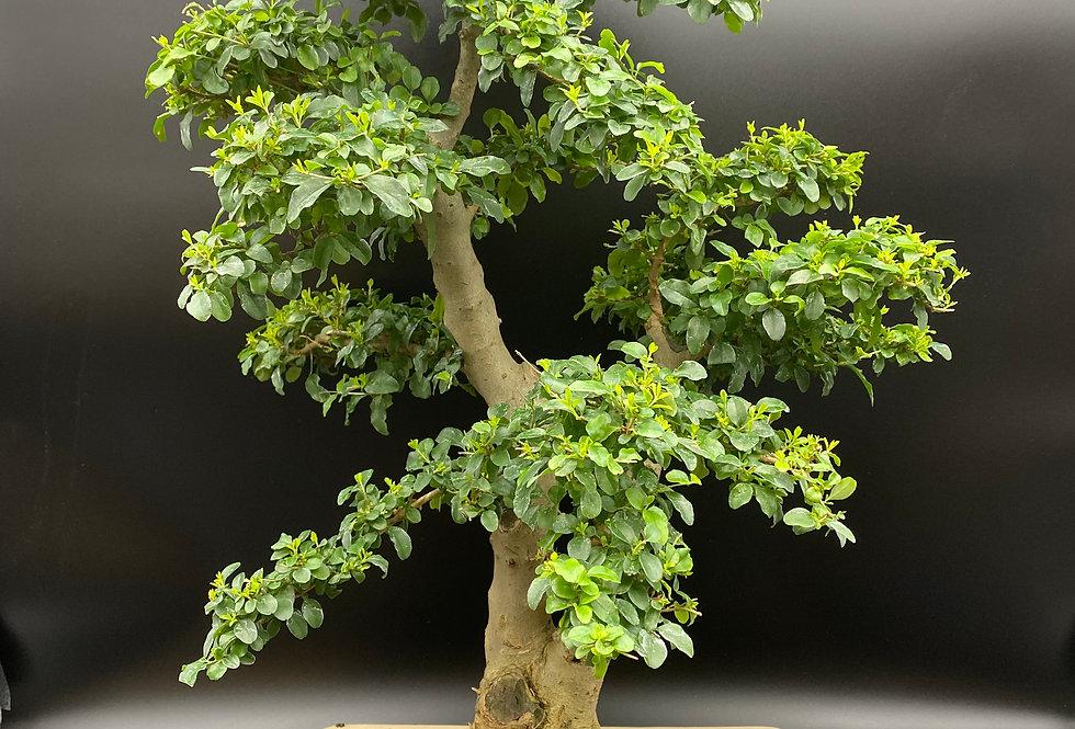 Troène de Chine (Ligustrum sinensis)