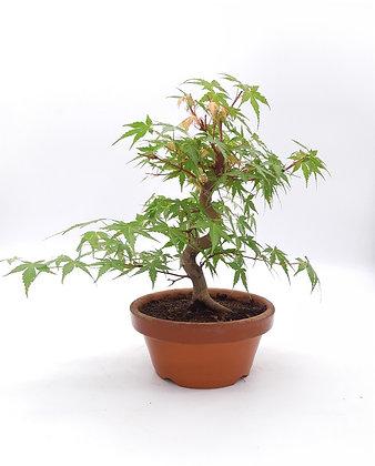 Acer palmatum Katsura (Erable du Japon)