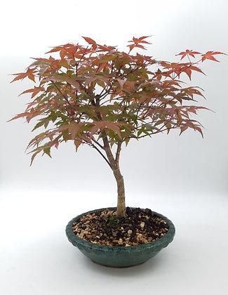 Acer palmatum 'Deshojo' (Erable du Japon)