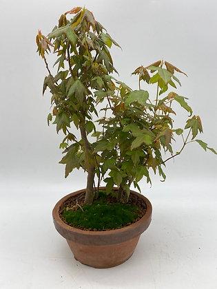 Acer buergerianum (Erable trident)