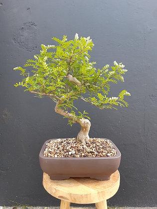 Zanthoxyllum piperitum (Faux-poivrier)