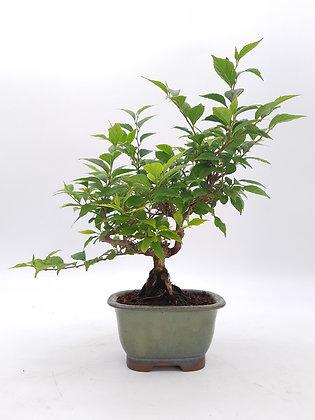 Styrax japonica (Arbre aux clochettes d'argent)
