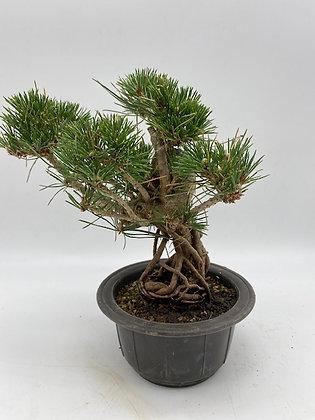 Pinus thunbergii (Pin de Thunberg)