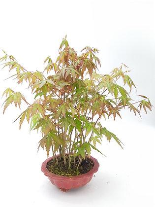 Acer palmatum 'Yamamomiji'