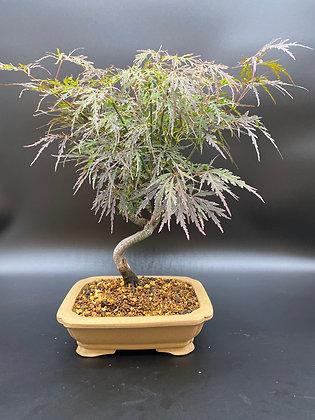 Érable pourpre lacinié (Acer palmatum 'Dissectum Atropurpureum')