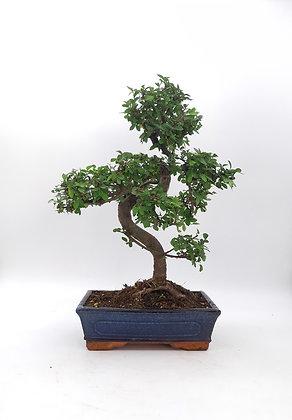 Zelkova parvifolia (Orme de Chine)
