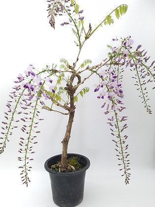 Wisteria floribunda (Glycine)