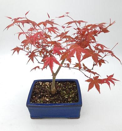 Erable du Japon (Acer palmatum 'Deshojo')