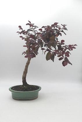 Loropetalum chinense