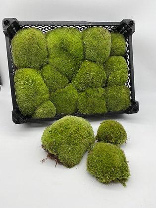 Mousse boule naturelle (Leucobryum glaucum)