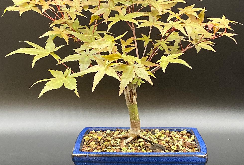 Érable japonais (Acer palmatum)