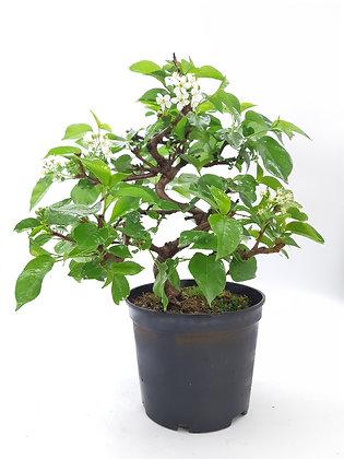 Prunus mahaleb en pré-bonsaï (Cerisier de Sainte-Lucie)