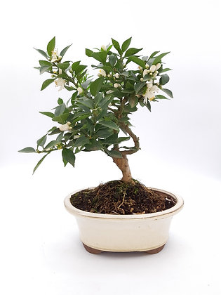 Citrus myrtifolia (Mandarinier Chinois)