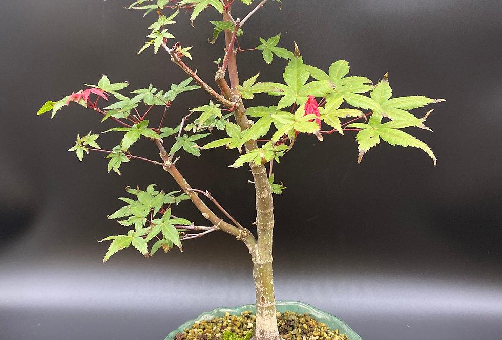 Érable japonais (Acer palmatum 'Deshojo')