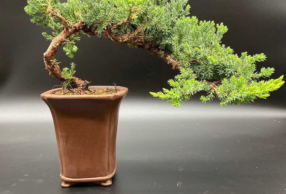 Genévrier (Juniperus procumbens 'Nana')