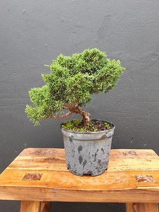 Juniperus chinensis (Genévrier de Chine) en pré-bonsaï
