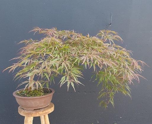 Acer palmatum 'Dissectum Atropurpureum ' (Erable du Japon lacinié)