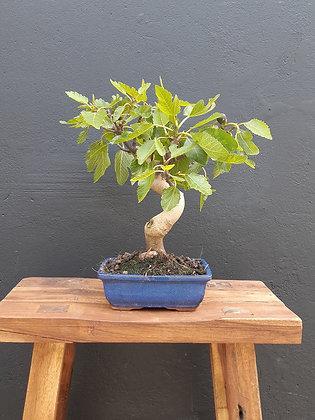 Ficus carica (Figuier)