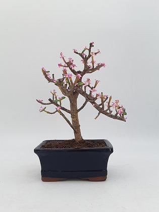 Portulacaria afra 'variegata pink'