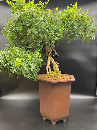 Faux-poivrier (Zanthoxyllum piperitum)