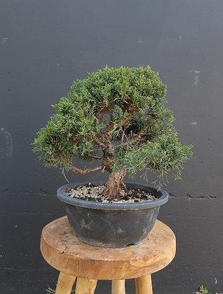 Juniperus chinensis (Genévrier de Chine)